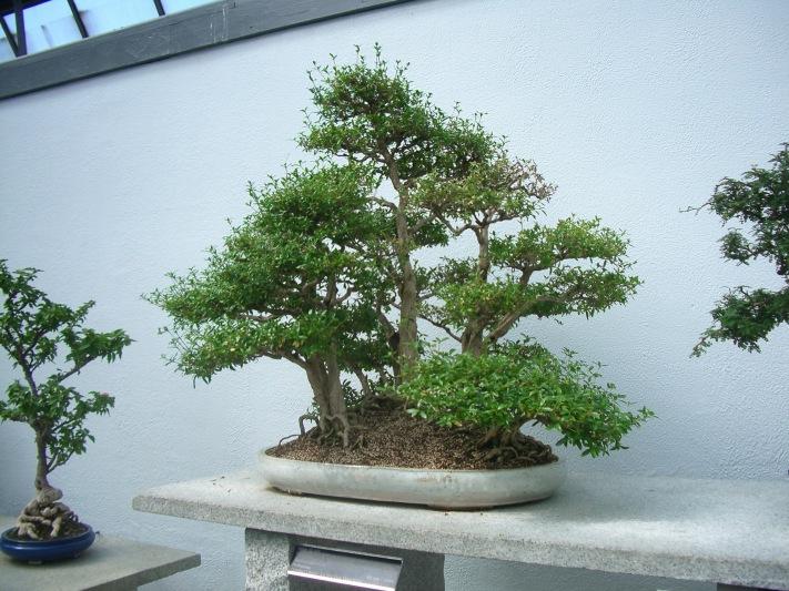 bonzi trees