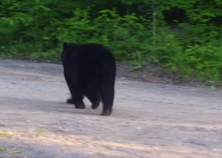 thats right walk away bear