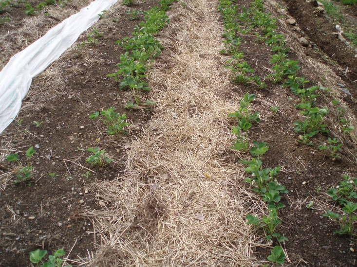 Weed control: mulched pathways